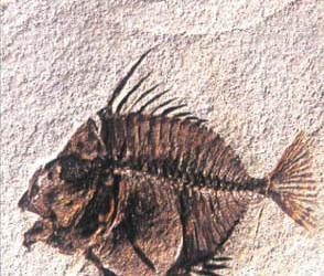 Museo San Pellegrino fossili